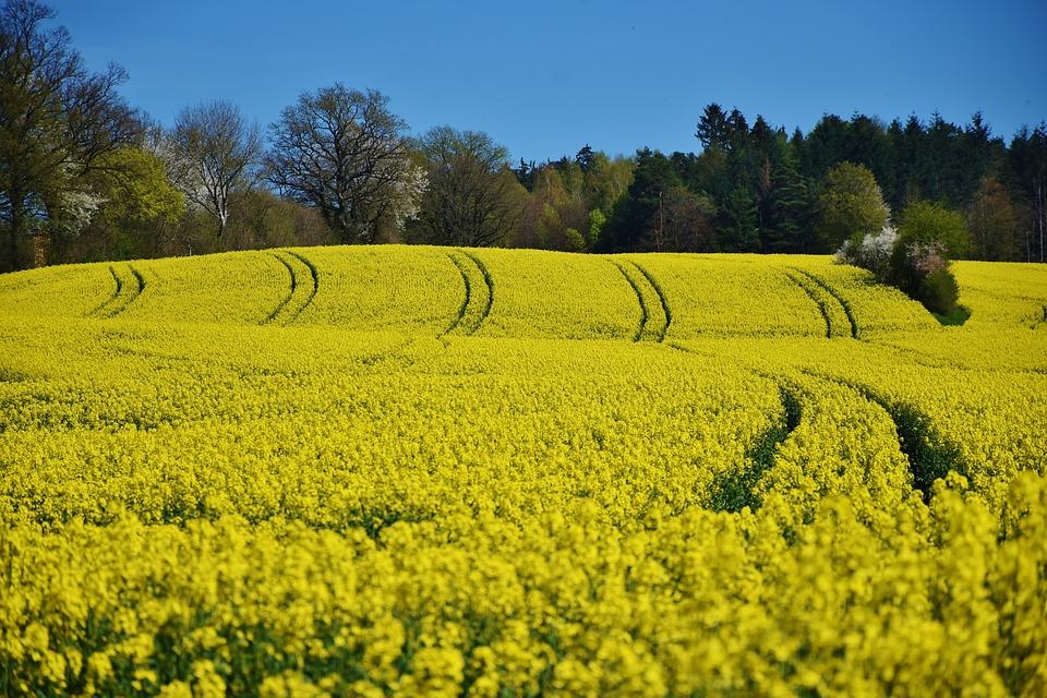 rzepak-biopaliwo